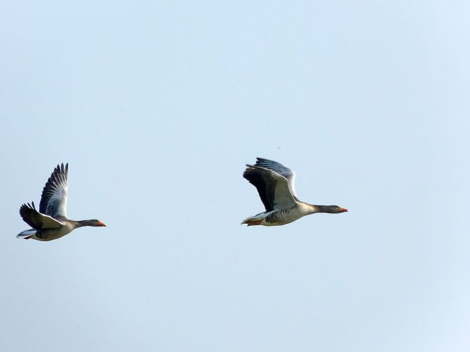 1280px-Greylag_Geese_(7011865157)